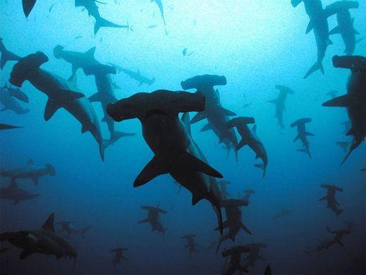 http---www.lightnfocus.com-wp-content-uploads-2016-05-hammerhead-sharks-galapagos-islands